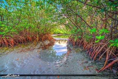 Mangrove tree on sandbar in jupiter florida