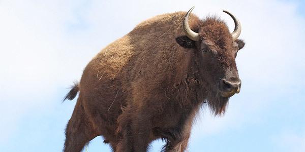 Mammal bison california john hobbs 600x300  1