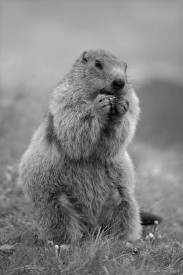 Groundhog bnw