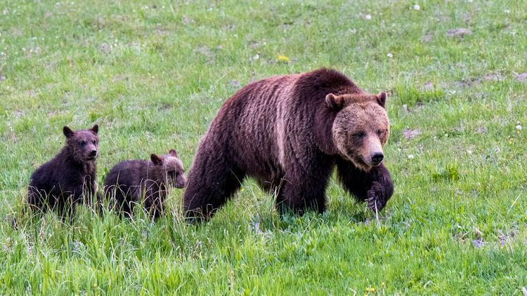 Bears 16x9