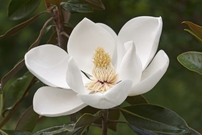 Southern magnolia 400x267