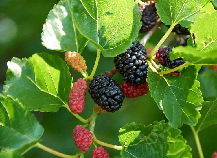 Fruit red mulberry
