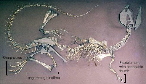 Diloskeleton