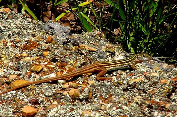 Whiptail lizard2j