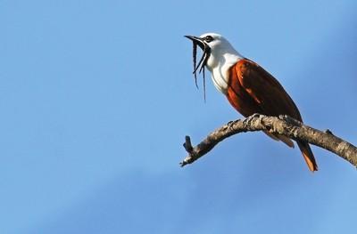 Three wattled bellbird