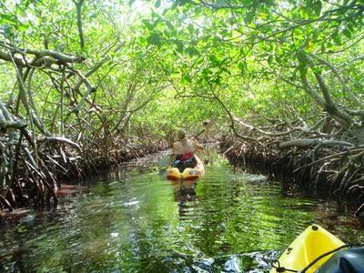 Lori mangroves