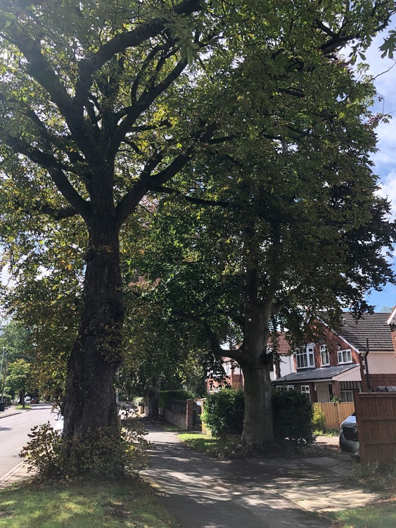 20. horse chestnut and copper beech