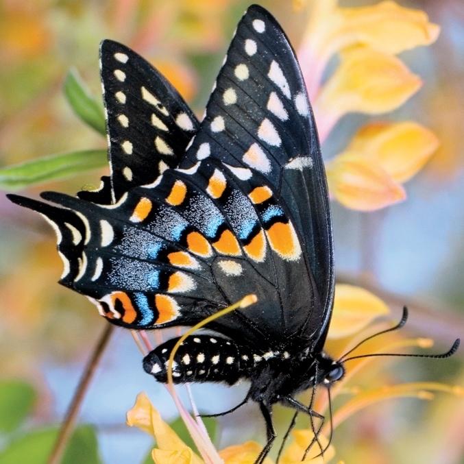 Black swallowtail native plant azalea sara bright